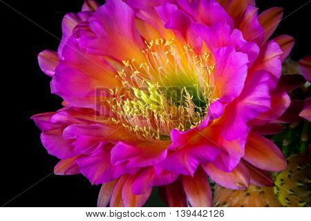 Close up bloom of a Trichocereus cactus. the stamen seem to be reaching out to send their pollen out into the world. The bloom is a vibrant pink.