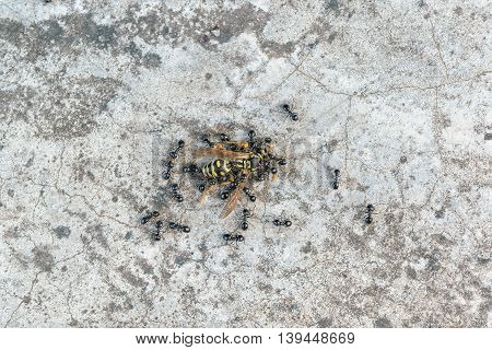 Many black ants attack the one wasp