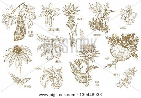 Ginkgo biloba sambucus turmeric maca Arjuna Bacopa cayenne pepper bitter melon Gymnema Echinacea flower thistle milk isolated on white background. Illustration set of vector Ayurvedic herbs.