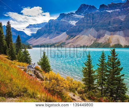 Banff National Park in the Canadian Rockies. Picturesque glacial Bow Lake with emerald green water. The lake is surrounded by pine trees