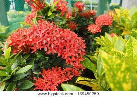 Red bunch Ixora flower and green leaf, Nature background.