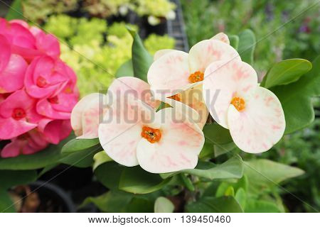 Two color of Poi Sian flowers. Asian flower.