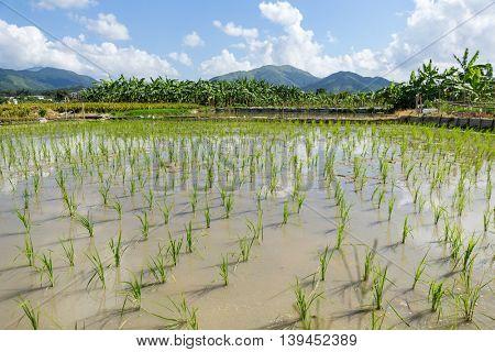 Planting new paddy rice