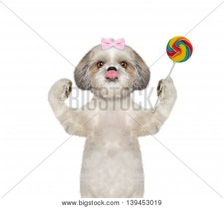 dog with bow-knot with a candy lollipop in the paw - isolated on white