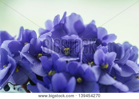 beautiful violet viola flower in a pot on the windowsill, shallow focus