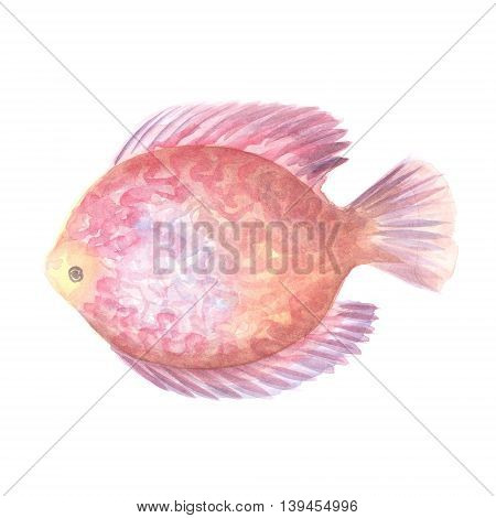 Discus Fish.Exotic decorative fish on a white background. Watercolor painting