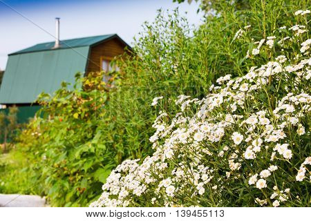bush white flowers in the sunlight on the background of a country house
