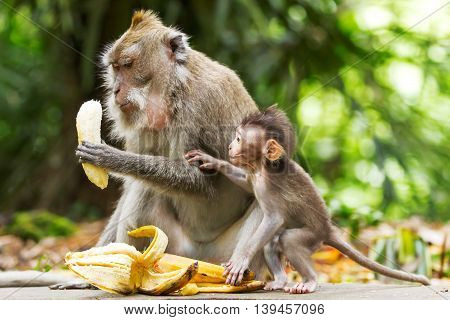 Monkeys eat bananas. Monkey forest in Ubud Bali Indonesia.