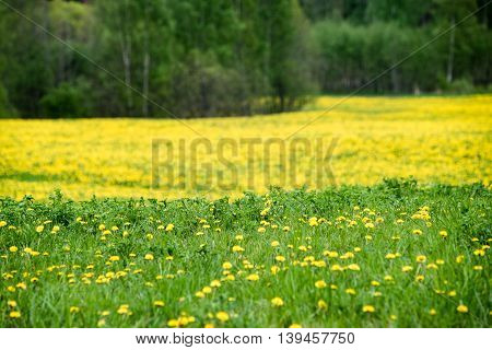 Summer Landscape With Yellow Flower  Field And Clouds