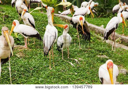 Flock of milky stork (Mycteria cinerea). Big bird with yellow beak. Malaysia.
