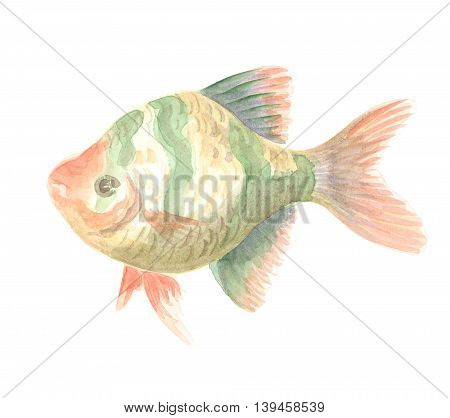 Sumatra Barb. Exotic decorative fish on a white background. Watercolor painting