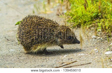 Curious hedgehog walks in the woods on a sunny summer day.