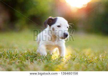 Little Jack Russell Terrier kid in sunset outdoor
