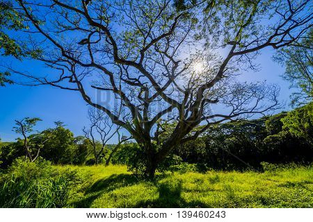 beautiful land scape of big rain tree plant on green grass field and sun shine on blue sky use for natural background
