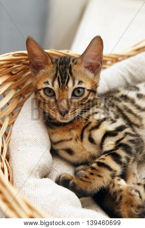Two small bengal kitten in a basket