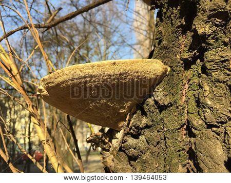 Bracket fungi on tree