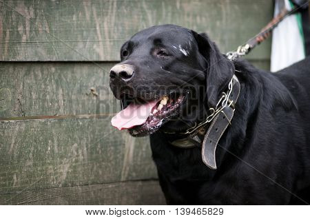 Black labrador retreiver portrait near wooden wall on lead