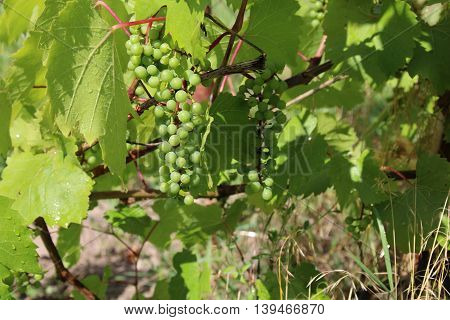 Grape fruit on the branch on the field