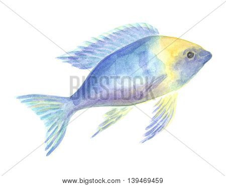 Pseudotropheus zebra cichlid. Exotic decorative fish on a white background. Watercolor painting