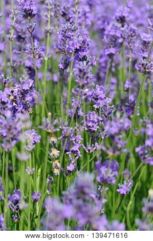 closeup of beautiful scented lavender flowers field