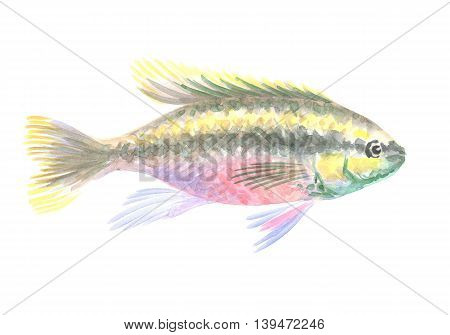 Kribensis Cichlid. Exotic decorative fish on a white background. Watercolor painting