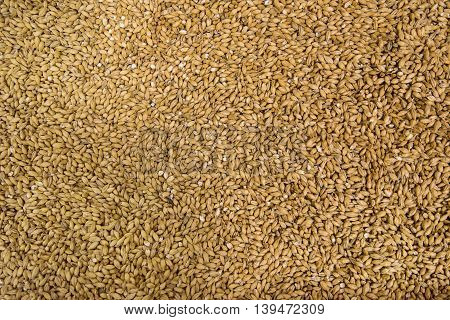 Organic barley grains texture macro close up photography