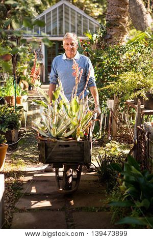 Portrait of mature male gardener pushing wheelbarrow in garden