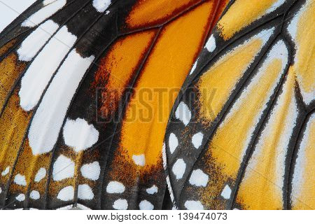 Macro Butterfly wing background common tiger butterfly Danaus Genutia monarch butterfly