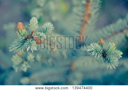 Blue Spruce Branches On Background