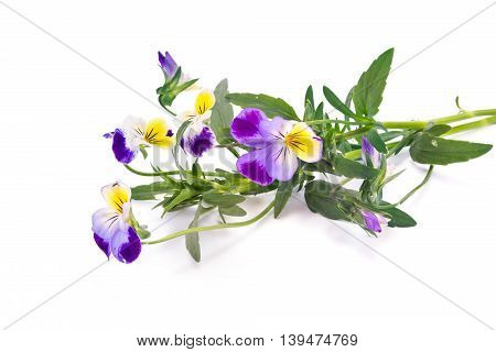 Wild flower Viola tricolor isolated on white background