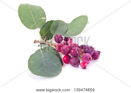 Sprig Amelanchier with berries isolated on white background