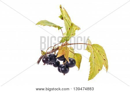 Ripe berries of garden plants black currant isolated on white background