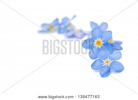 beautiful blue forget-me-flower on a white background