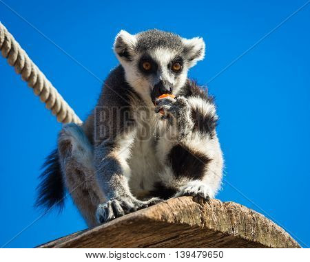 Lemur Eating Carrot, Athens, Greece