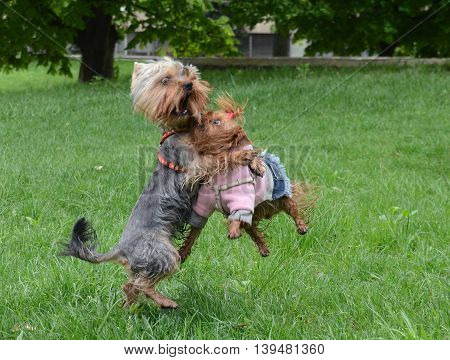 Yorkshire terriers Jake and Eve on a walk in the park