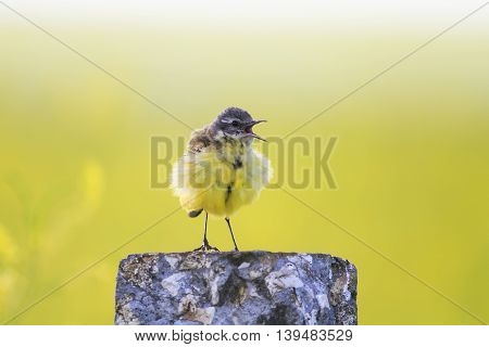 bird yellow Wagtail stands on a rock and sings a song