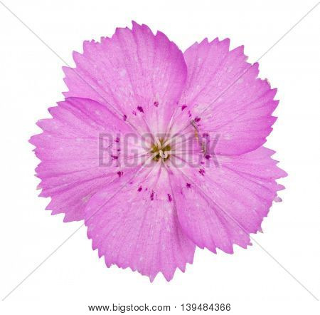 Pink carnation (Dianthus carthusianorum) flowers
