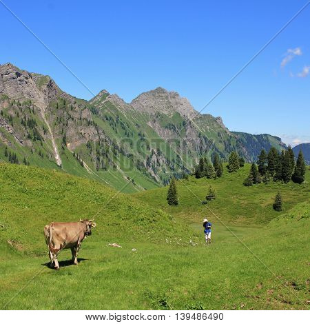 Scene on the hiking route from lake Obersee to lake Klontalersee. Cow on a green mountain meadow looking at a coming hiker. Mt Brunnelistock. Summer scene in the Swiss Alps.