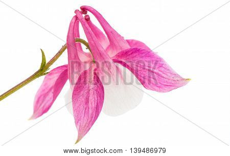 aquilegia beautiful flower isolated on white background