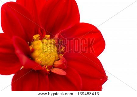 flower red dahlia isolated on white background