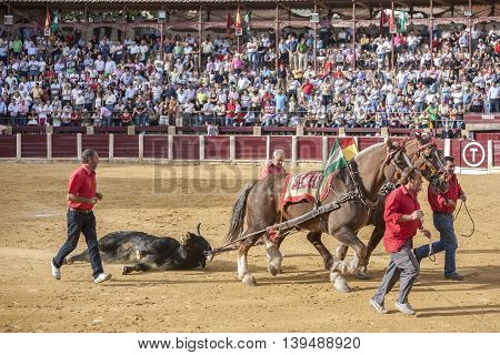 Ubeda, SPAIN - 02 october 2010: Drag mules are Bull died in the Bullfight to the slaughterhouse of the bullring of Ubeda Spain