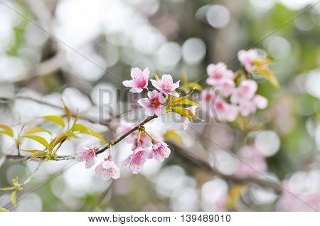 Wild Himalayan Cherry Prunus cerasoides Sour cherry Cerasus cerasoidesSakura Cherry Blossom or Wild Himalayan tree