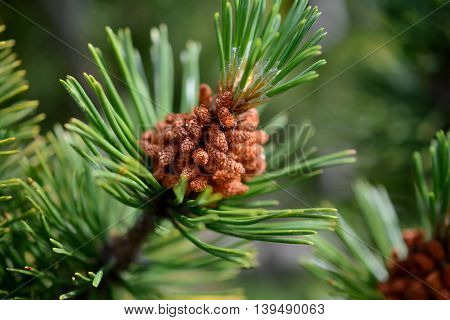 Little dwarf mountain pine cones on branch. Shallow depth of field.