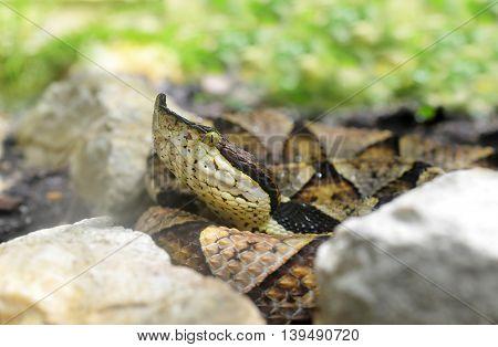 Venomous snake Hundred-pace pit viper (Deinagkistrodon acutus)