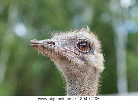 detailed portrait of an ostrich close up
