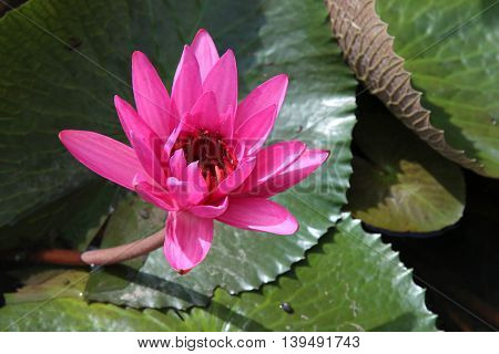 Pink lotus flower or waterlily in the pond.