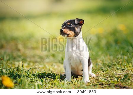 Dogs Breed Toy Fox Terrier Puppy