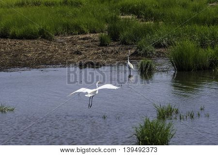 An Egret lands in the waters of the NJ Salt Marshes