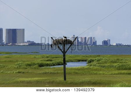 A bird's nest in the NJ Salt Marshes with a city skyline in the distant background