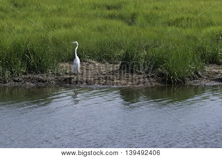 A lone egret stands on the bank of the Salt Marshes surrounded by green grass